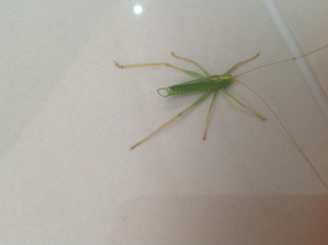 Southern oak bush cricket?