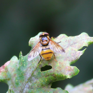 Hoverfly...Hornet Mimic?