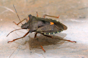Forest Shield Bug (4)
