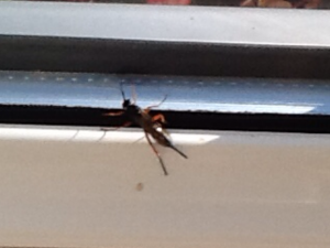 Wasp-like fly?