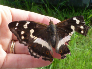 female purple emperor- sat on my hand for ages!