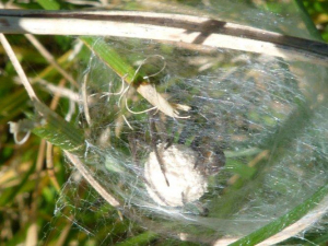 spider egg sack - any idea on species?