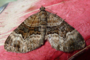 Which species of carpet moth?