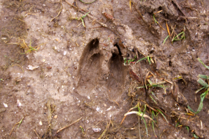 Deer footprint