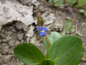 5-petalled Brooklime?