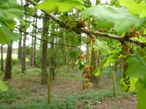 Currant gall