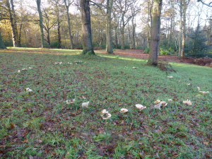 Fairy Ring of Trooping Funnels