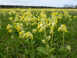 Profusion of Cowslips