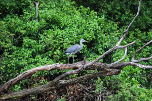 Juvenile Grey Heron Being Chased by a Crow