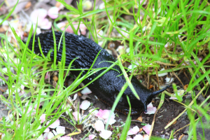 Black Slug Arion (Arion) agg