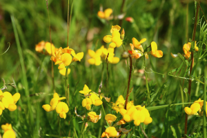 Common Bird's-Foot-Trefoil (Lotus corniculatus)