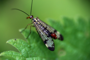 Scorpion Fly Male