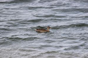 Gadwall - Female