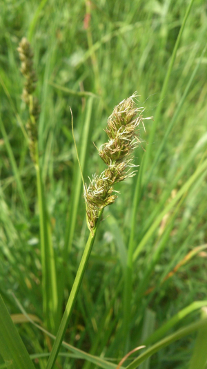 Grass/sedge id please