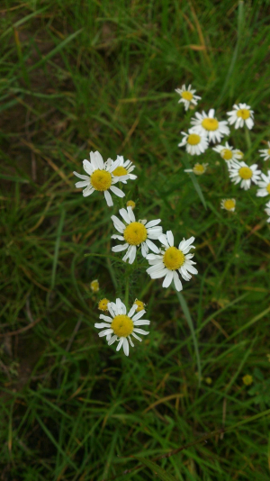 Chamomile or mayweed?