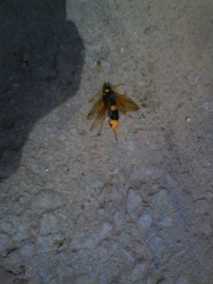 Greater Horntail Wasp
