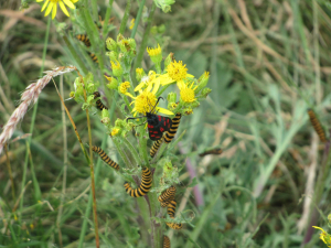 Six-spotted Burnet Moth with Cinnabar Caterpillars