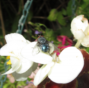 Hoverfly (blue)