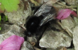 Red- tailed Bumble bee
