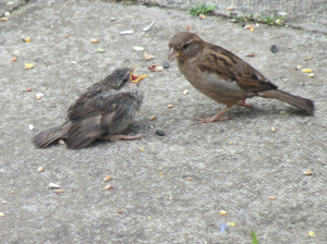 House Sparrow with young