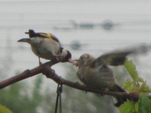 Goldfinch  feeding chick