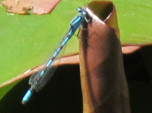 Damselfly blue (male)