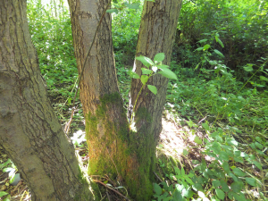 Himalayan Balsam growing on a tree.
