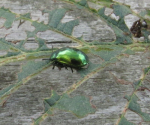 Green Beetle  ? Cryptocephalus    Gordon C.W. NT666444  09/09/2013