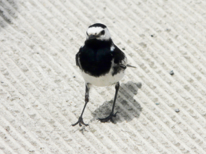 Black & White Wagtail