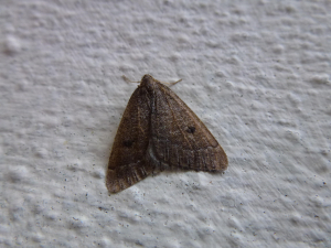 Q Early Moth (Theria primaria)