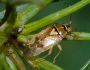 Lygus sp? (Mirid bug)