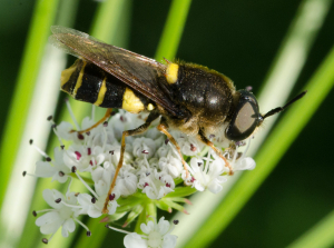 Hoverfly??