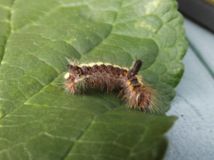 Caterpillar on plum tree