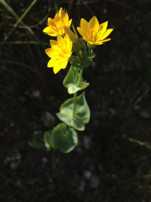Yellow wort