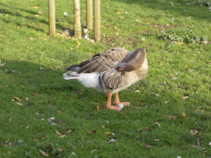 Goose At Ely