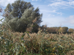 Reeds and Willows