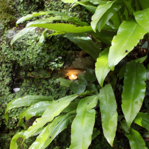 Hart's Tongue Fern Chalice Well