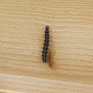 Small Tortoiseshell Caterpillar 2