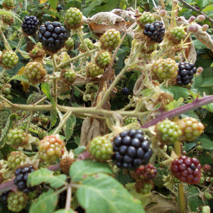 Ripening Blackberries