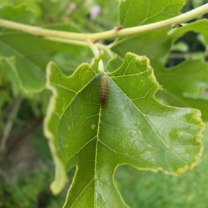 Unknown Larva