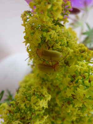 Beetles on Bedstraw