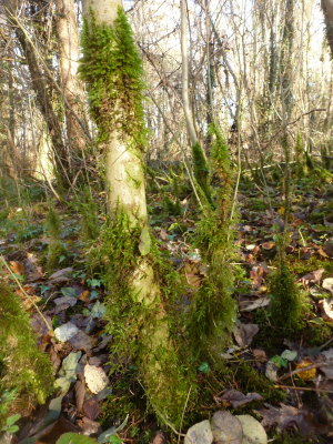 Moss on young Ash trees