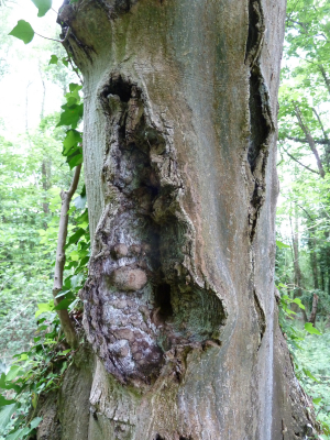 Diseased Ash Tree