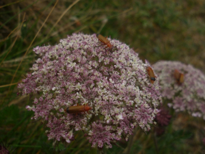 Soldier beetles on wild carrot