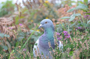 Is this a Rock Dove or a Stock Dove ?