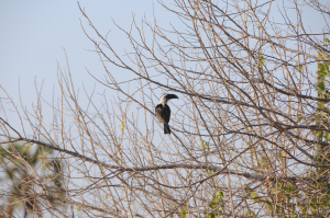 Another species of Hornbill in tree