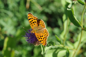 Fritillary species, French Pyrenees