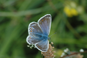 Blue butterfly in Dorset