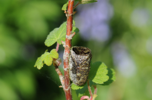 Insect cell attached to currant bush branch