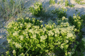Prolific white flowering coastal plant